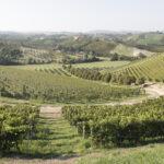 Vignobles et noisieters . Alba. Azienda vitivinicola Ceretto. Davide Curatola Soprana