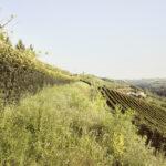 Vignobles récemment implantées. Cigliè. Alessandro Guida