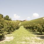 Vignobles et noisieters. Alba. Azienda vitivinicola Ceretto. Davide Curatola Soprana