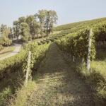 Vue sur les vignobles. Alba. Azienda vitivinicola Ceretto. Alessandro Guida